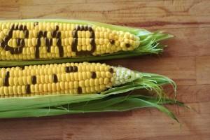 Gentechnisch veränderter Mais