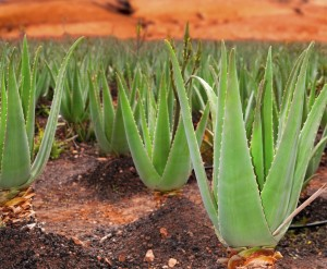 Glyconutrients are mainly obtained from the Aloe Vera plant